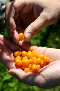 Picking Sea Buckthorn by hand