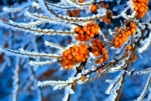 bigstock-The-branches-of-sea-buckthorn--27211061